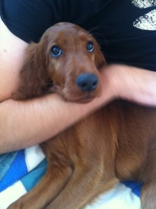 12 week old irish red setter puppy